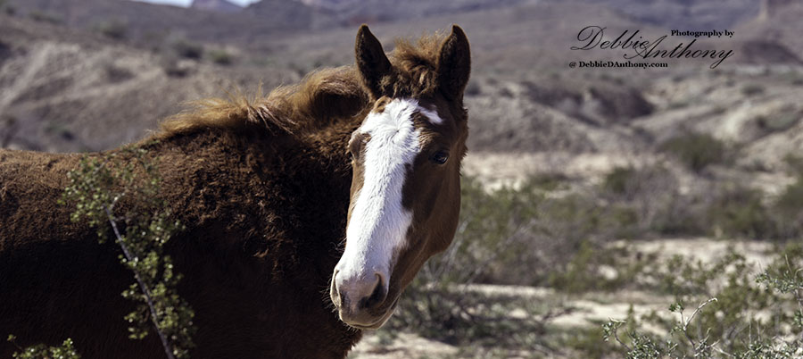 Lake Mead Wild Mustang