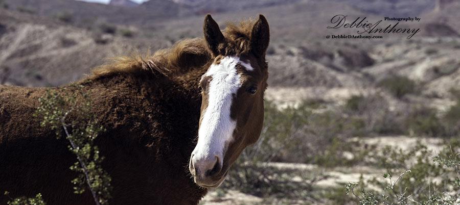 Lake Mead Wild Mustang